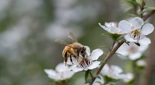 The Wild Story of Manuka, the World's Most Coveted Honey