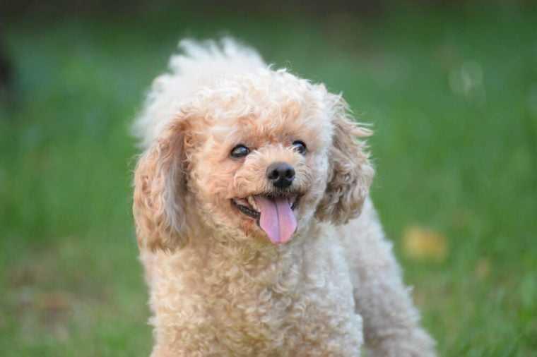 A hypoallergenic dog